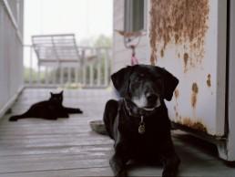 Charlotte Dumas, Bailey, Retired 911 rescue dog, 2011